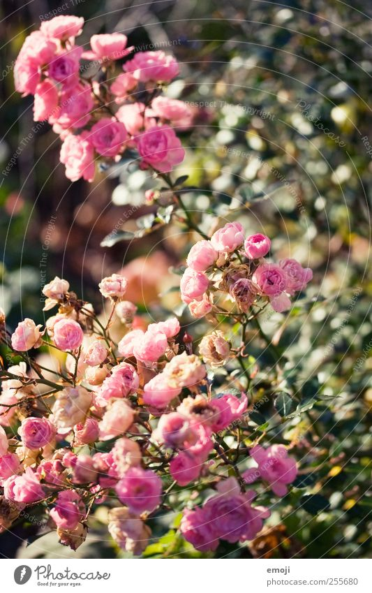 La vie en rose Plant Flower Bushes Rose Leaf Blossom Natural Pink Colour photo Exterior shot Close-up Detail Deserted Day Shallow depth of field
