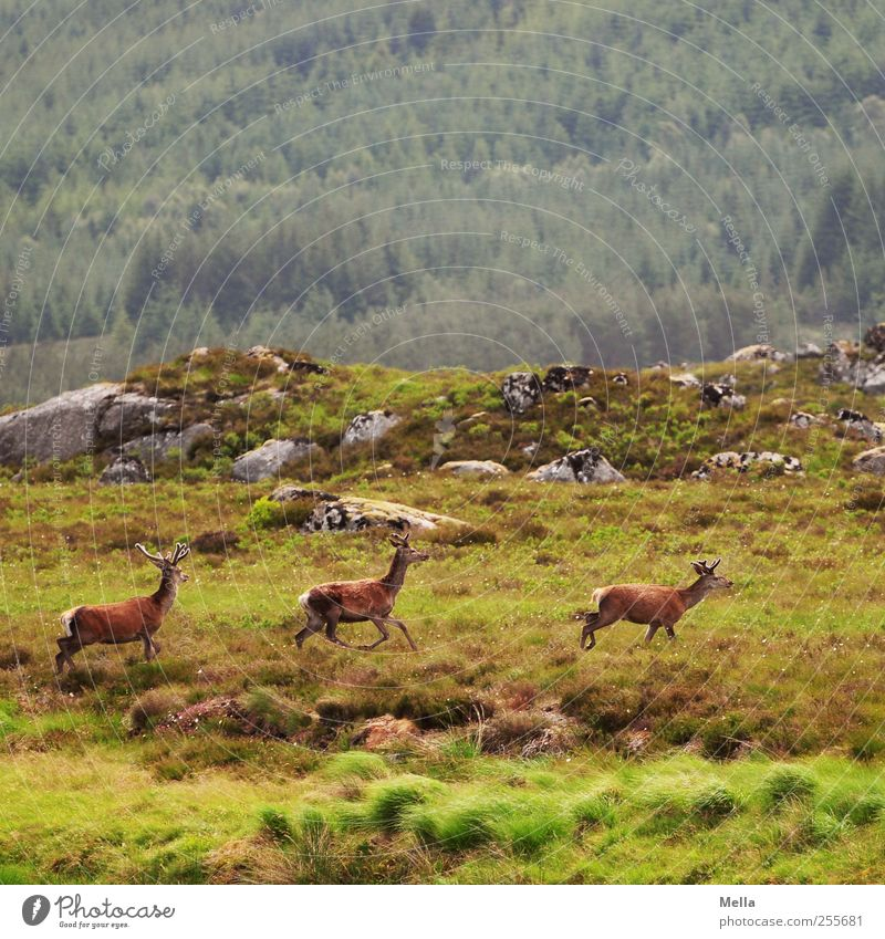 Three kinds of deer Environment Nature Landscape Animal Meadow Hill Rock Mountain Wild animal Deer Red deer 3 Movement Walking Free Together Natural Green