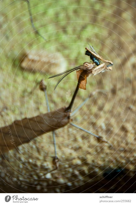 Last Supper Animal 2 To feed Exceptional Exotic Praying mantis Mantids Walking violin Blowfly Camouflage Feeler Insect Terrarium Interior shot Deserted