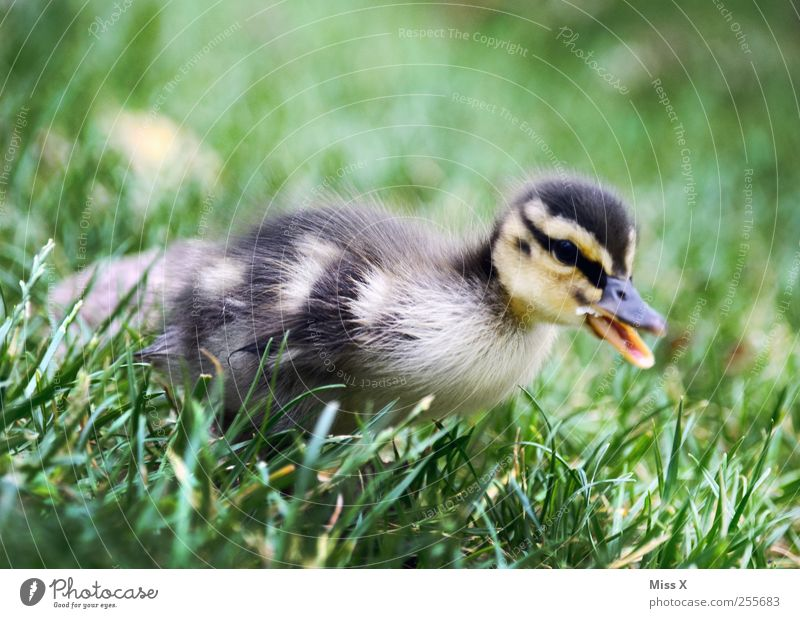 Fluffy thing Grass Meadow Animal Farm animal Wild animal Bird 1 Baby animal Cute Small Duck Duckling Chick Fuzz Soft Colour photo Exterior shot Close-up