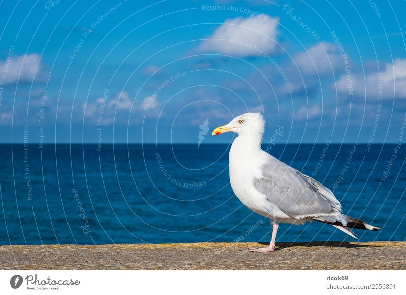 Seagull on the Baltic Sea coast in Warnemünde Relaxation Vacation & Travel Tourism Ocean Animal Water Clouds Coast Bird Blue Idyll Nature Environment seabird