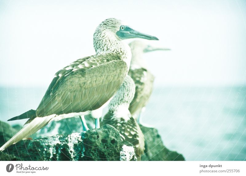 Wonderful views Environment Nature Landscape Animal Elements Coast Ocean Pacific Ocean Island South America Galapagos islands Wild animal Bird Blue-footed Booby
