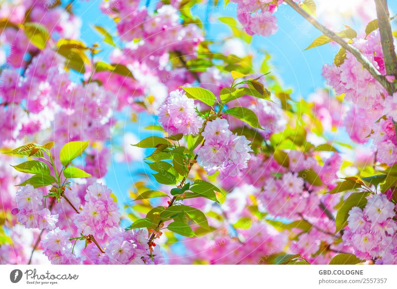 Cherry blossoms - Japanese flower cherry [10042011_0018] Environment Nature Landscape Plant Sun Spring Beautiful weather Tree Blossom Agricultural crop Garden