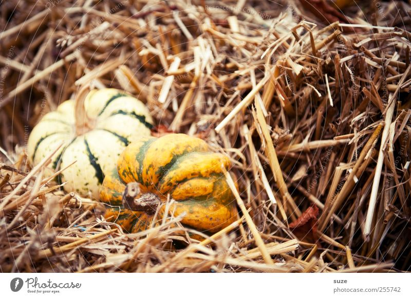 Yellow Autumn Small Feasts & Celebrations Natural Food Decoration Cute Round Vegetable Organic produce Autumnal Hallowe'en Straw Pumpkin Vegetarian diet