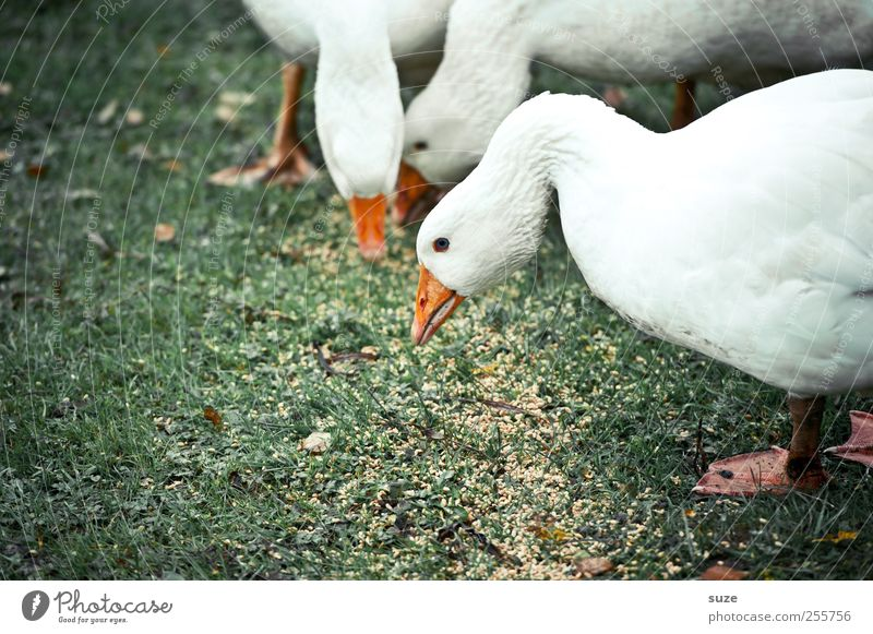 Nature Green Christmas & Advent White Animal Environment Meadow Happy Bird Wild Free Group of animals Curiosity Grain Animalistic To feed