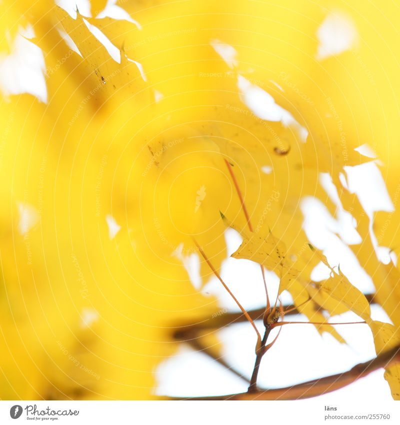 yellow Environment Plant Autumn Tree Leaf Illuminate Yellow Gold Change Branch Deserted Brilliant Colour photo Copy Space left Copy Space top Sunlight