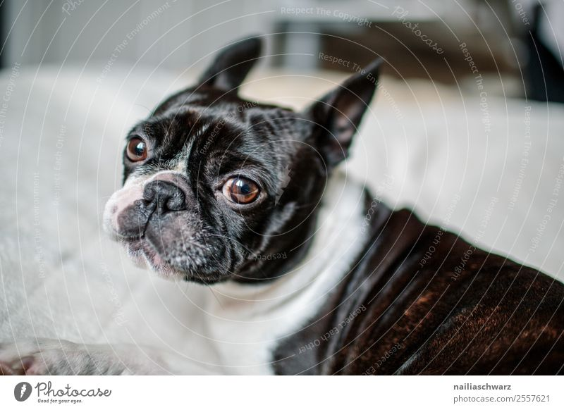 Boston Terrier Portrait Warmth Animal Pet Dog 1 Ceiling Observe Relaxation To enjoy Communicate Lie Looking Dream Sadness Brash Cuddly Astute Funny Curiosity