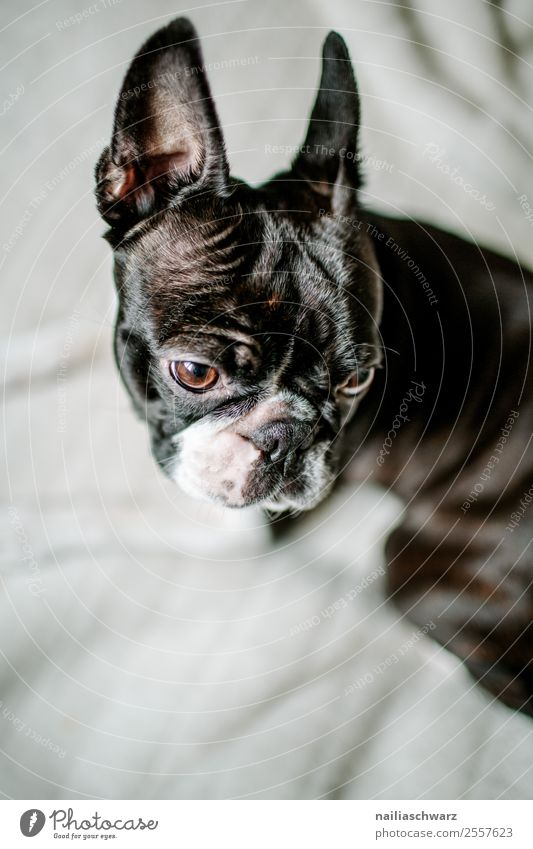 Boston Terrier Portrait Warmth Animal Pet Dog 1 Observe Discover Relaxation Looking Wait Brash Friendliness Happiness Funny Natural Curiosity Cute Beautiful