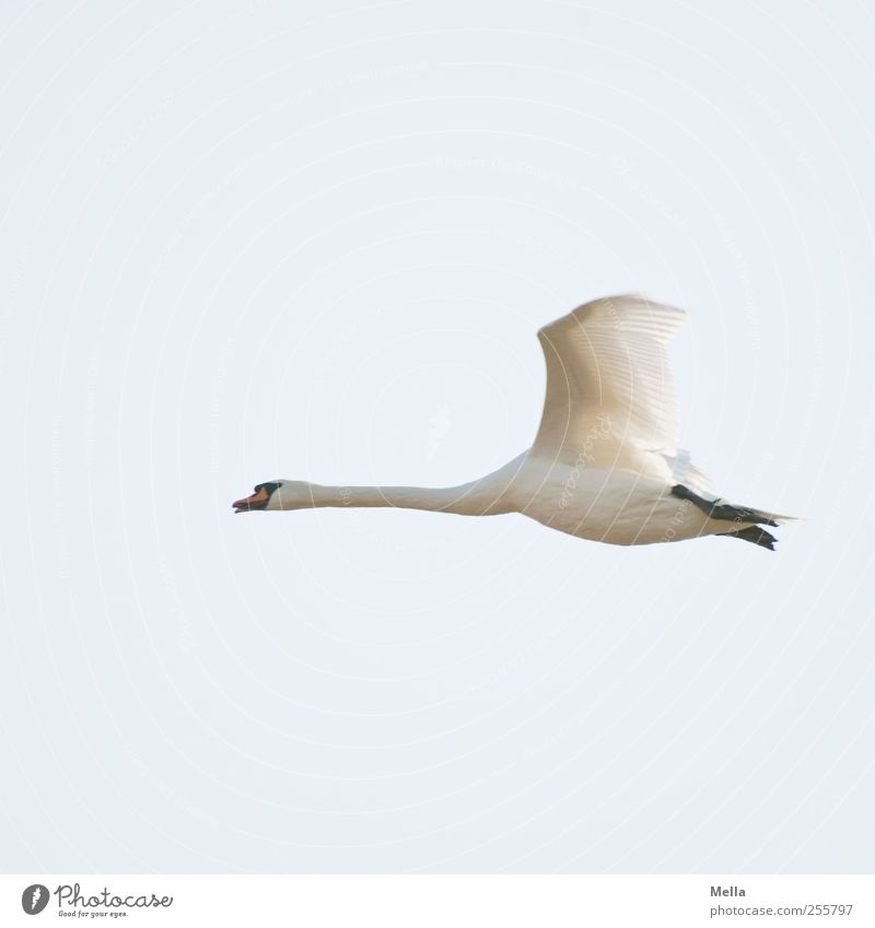 flight Environment Nature Animal Air Wild animal Bird Wing Swan 1 Movement Flying Free Bright Beautiful Natural Blue White Freedom Speed Colour photo
