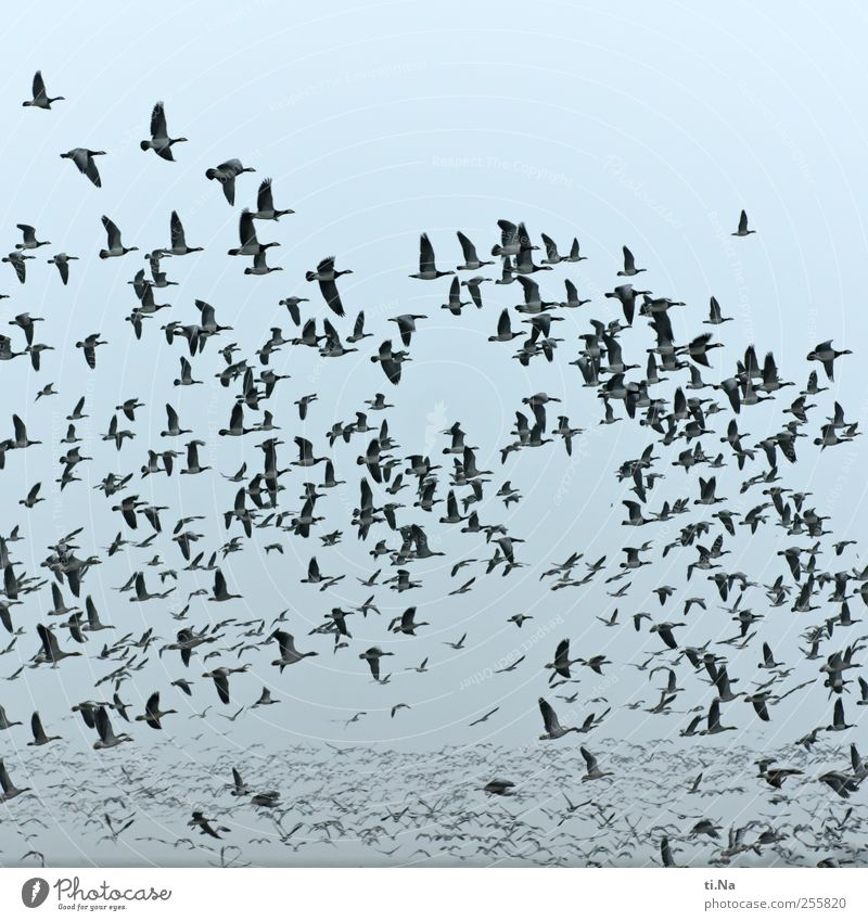 Freedom Bird Flying Wild Wild animal Free Wing Many Animal Flock Gigantic Flock of birds Movement Flight of the birds Migratory bird Wild goose