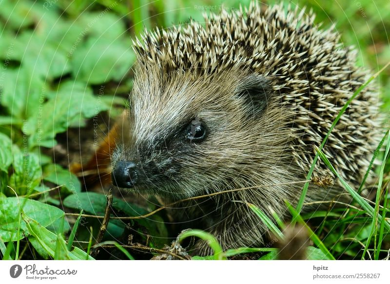 inquisitorial Nature Animal Wild animal Animal face Hedgehog Crawl Study Thorny Curiosity Colour photo Exterior shot Copy Space left Day Worm's-eye view