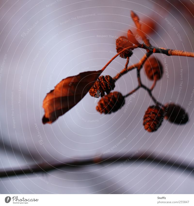 last sunshine in November Nature Plant Sunlight Autumn Leaf Cone Autumn leaves Twig Violet Red November mood Sadness Moody Transience Change Evening Autumnal