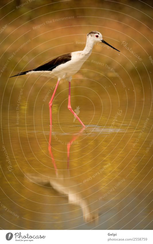 Stilt in a pond looking Beautiful Ocean Environment Nature Animal Spring Grass Coast Pond Lake River Bird Wing Long Wet Cute Wild Red Black White himantopus
