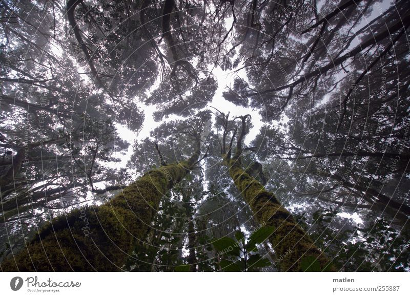 cloud forest Plant Sky Climate Tree Moss Forest Dark Gigantic Creepy Tall Green Fog Aspire Cloud forest Tree trunk mossy Subdued colour Exterior shot Day
