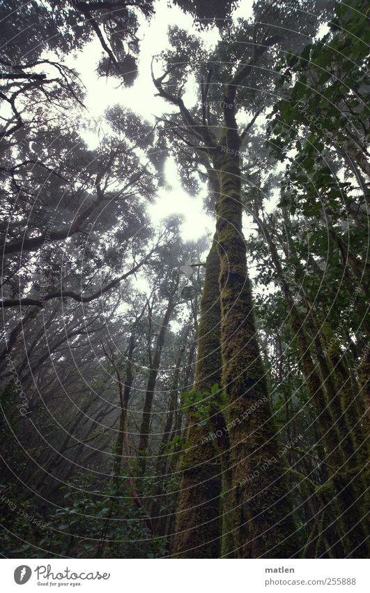 Sky Green Tree Plant Forest Dark Landscape Brown Fog Climate Creepy Virgin forest Cloud forest Juniper