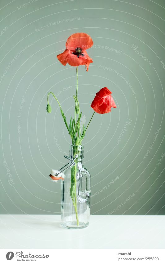 flowering 2nd Advent Nature Plant Flower Green Red Poppy Poppy leaf Poppy blossom Blossoming Vase Baby's bottle Decoration Colour photo Interior shot