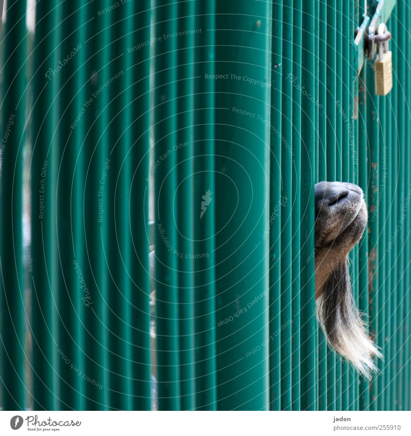 free mecki! Garden fence Fence Facial hair Pet Goats 1 Animal Strongbox Protection Longing Loneliness Surveillance Grating Cage Captured Lock Padlock Freedom