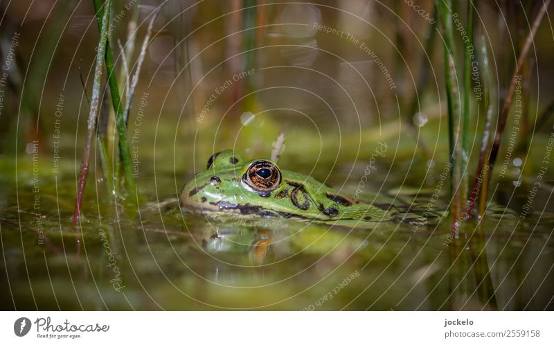 Upper edge of lower lip Environment Nature Water Summer Bushes Animal Frog 1 Observe Crawl Swimming & Bathing Looking Brown Multicoloured Yellow Gold Green