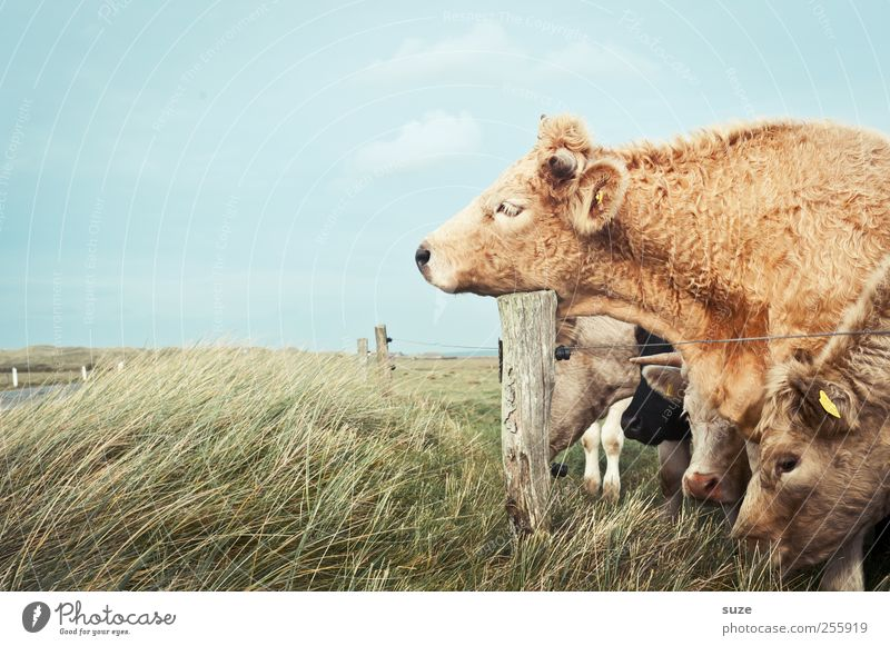 Tired I am ... Organic produce Nature Animal Meadow Farm animal Cow Group of animals Herd Sleep Funny Natural Cute Love of animals Fatigue Country life