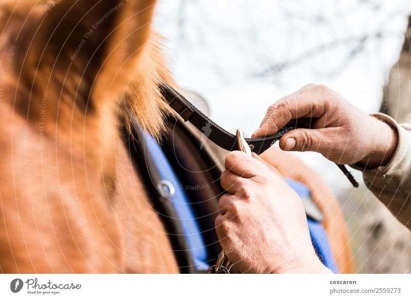 Man saddling a horse and tighten the girth. Ride Decoration Sports Human being Masculine Young man Youth (Young adults) Adults Hand 1 18 - 30 years Clothing