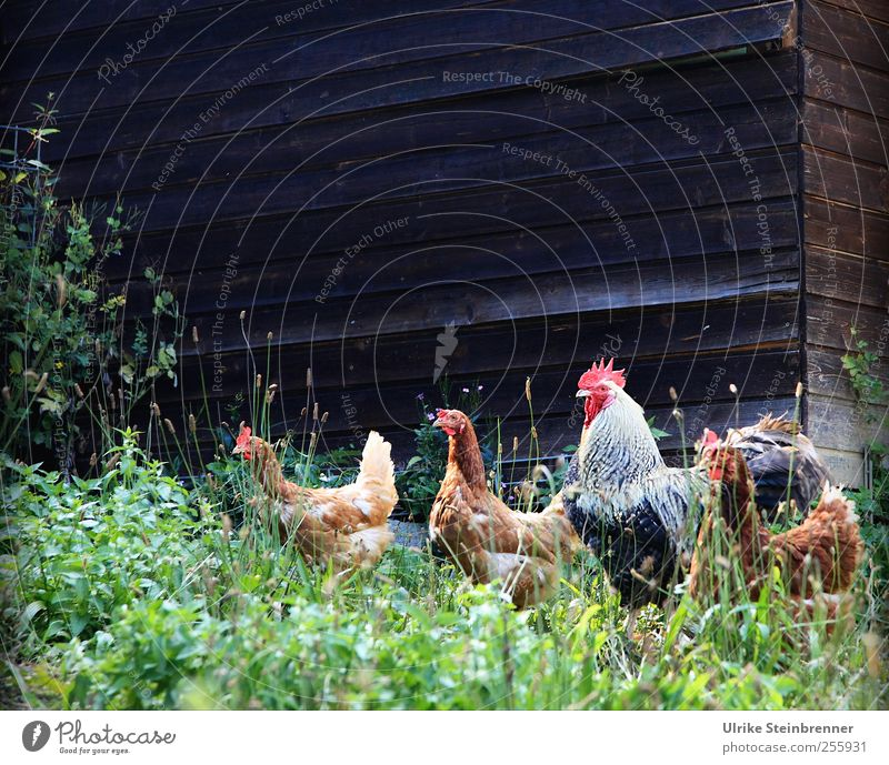 Happy chickens Nature Plant Animal Summer Grass Bushes Meadow Pet Rooster Barn fowl hühnerhof 4 Group of animals Looking Wait Free Natural Together