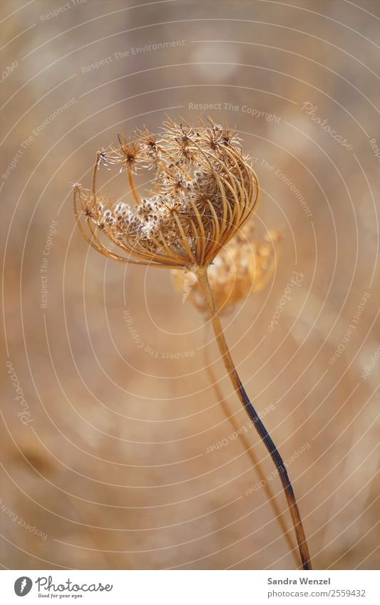 dried flower Plant Flower Grass Blossom Foliage plant Daisy Family Faded Brown Yellow Meadow flower Drought Dried flower Colour photo Subdued colour