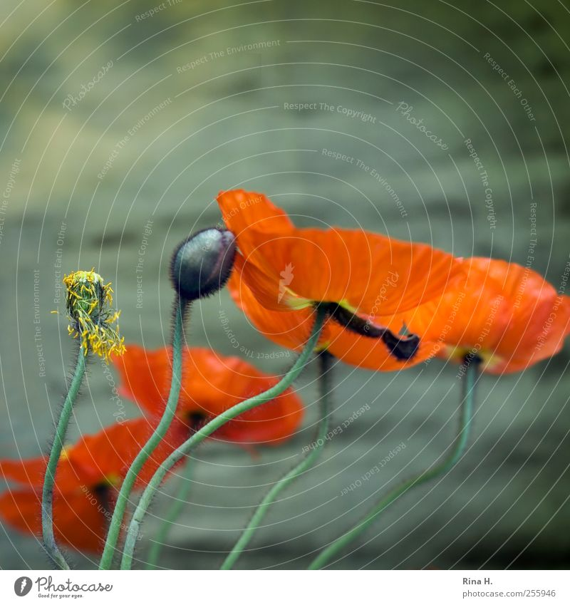 swing Plant Spring Flower Blossom Poppy Poppy blossom Bud Movement Blossoming Dance Faded Esthetic Authentic Natural Green Spring fever Ease Nature Transience
