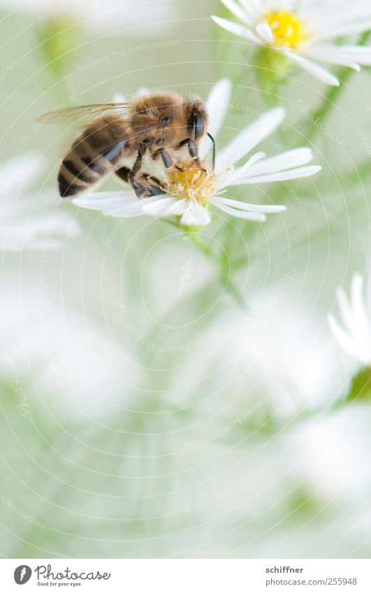 Nature White Beautiful Plant Flower Animal Blossom Delicate Bee Blossoming Easy Ease Sprinkle Flowering plant