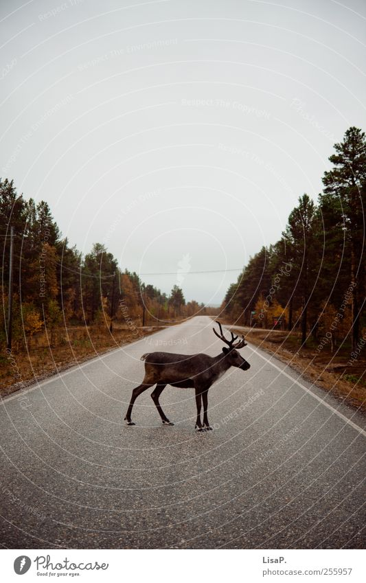 rudi at 12 o'clock Nature Sky Autumn Tree Forest Deserted Street Animal Wild animal Pelt Reindeer Looking Stand Brown Gray Green Acceptance Love of animals