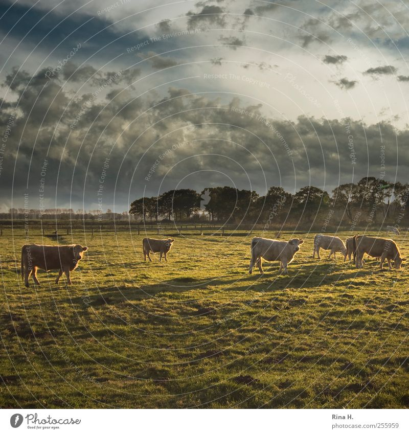 Cows in Schleswig-Holstein under Tunisian sky Agriculture Forestry Environment Nature Landscape Sky Clouds Autumn Climate Beautiful weather Meadow Animal