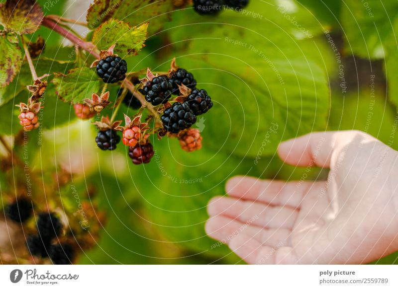 blackberry harvesting Healthy Eating Wellness Life Leisure and hobbies Playing Vacation & Travel Summer Summer vacation Child Toddler Infancy Hand 8 - 13 years