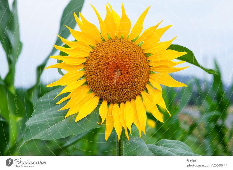 sunflower Sky Nature Summer Plant Beautiful Green Landscape Sun Flower Leaf Yellow Blossom Natural Meadow Garden Bright