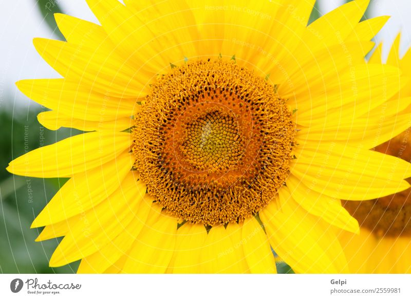 sunflower Beautiful Summer Sun Garden Nature Landscape Plant Sky Flower Leaf Blossom Meadow Growth Bright Natural Yellow Green Sunflower field agriculture