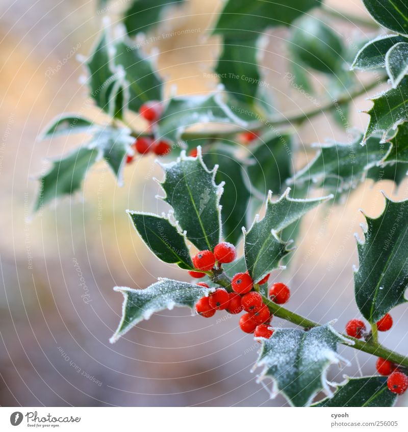 ...more frost Nature Plant Winter Climate Leaf Garden Park Cold Frost Red Green Berries venomously Thorn Christmas & Advent Winter mood Decoration Ilex