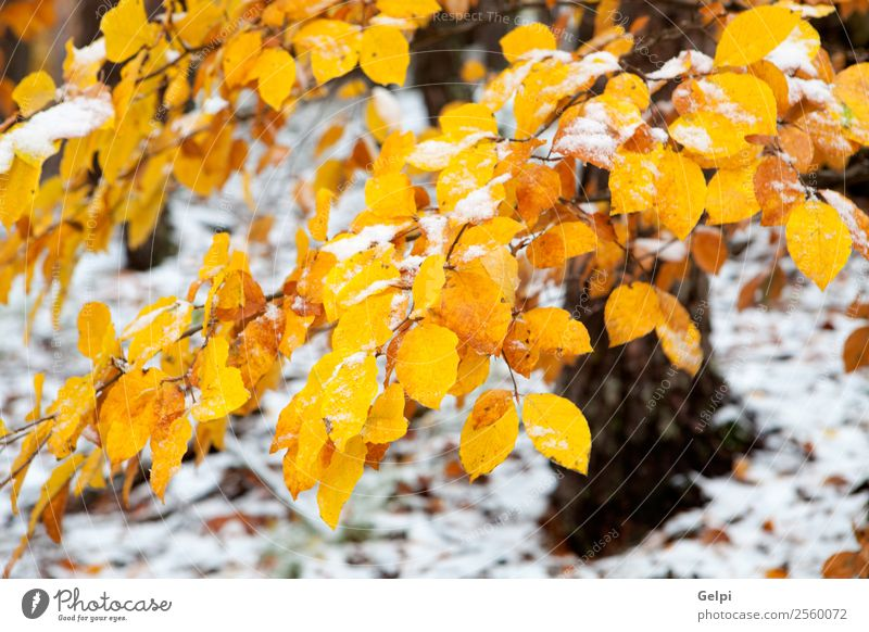 yellow leaves in autumn Beautiful Winter Snow Environment Nature Landscape Plant Autumn Tree Leaf Park Forest Bright Natural Brown Yellow Gold Green Red White