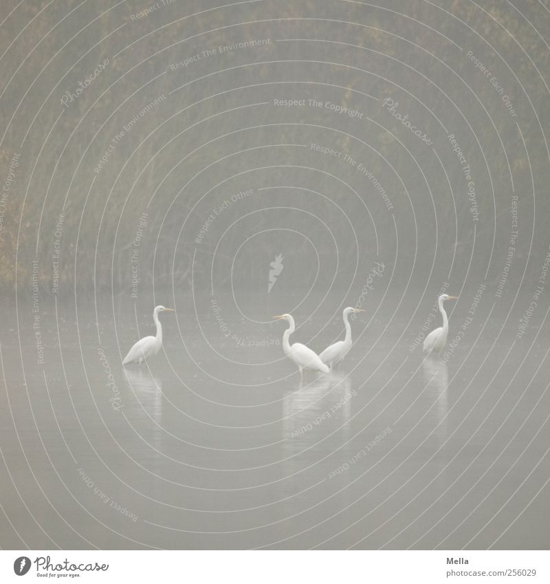 Together Environment Nature Landscape Animal Water Fog Lakeside Pond Bird Heron Great egret 4 Group of animals Looking Stand Natural Gloomy Gray Idyll Calm