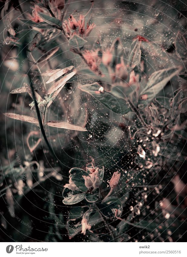 Networked and matted Environment Nature Plant Drops of water Flower Bushes Leaf Blossom Garden Blossoming Glittering Small Wild Fragrance Cobwebby Spider's web