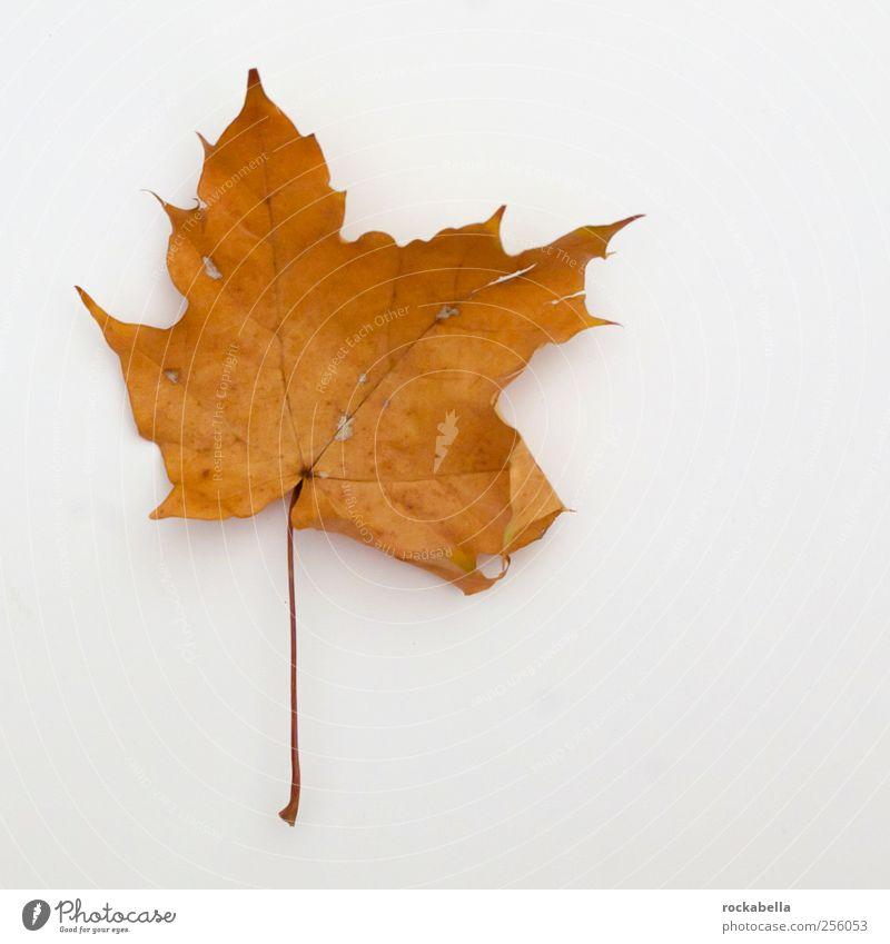 Nature Plant Leaf Autumn Environment Elegant Natural Esthetic Maple tree Maple leaf
