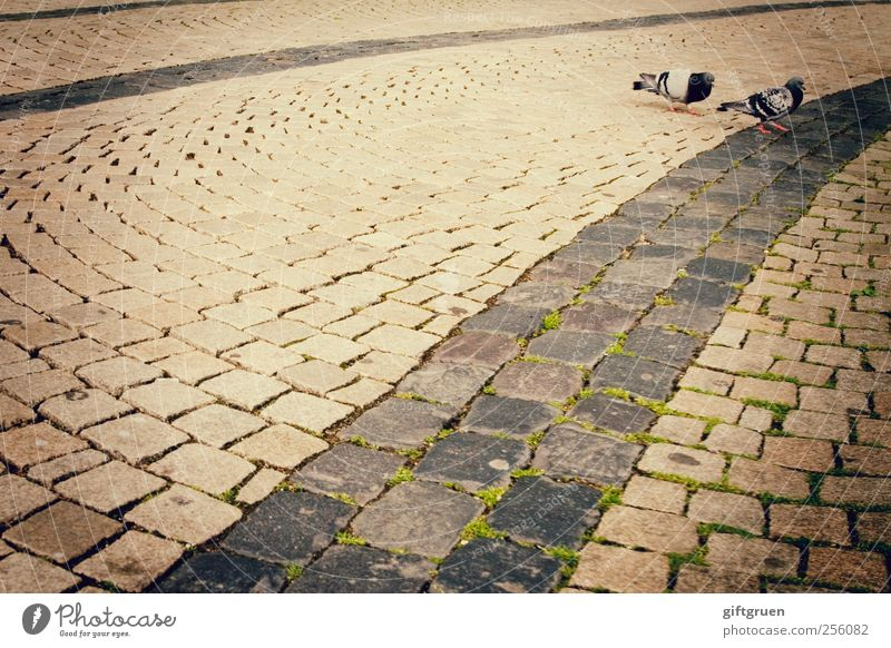 City Animal Street Bird Going Pair of animals Wild animal Perspective Floor covering In pairs To go for a walk Moss Downtown Pigeon Paving stone Movement