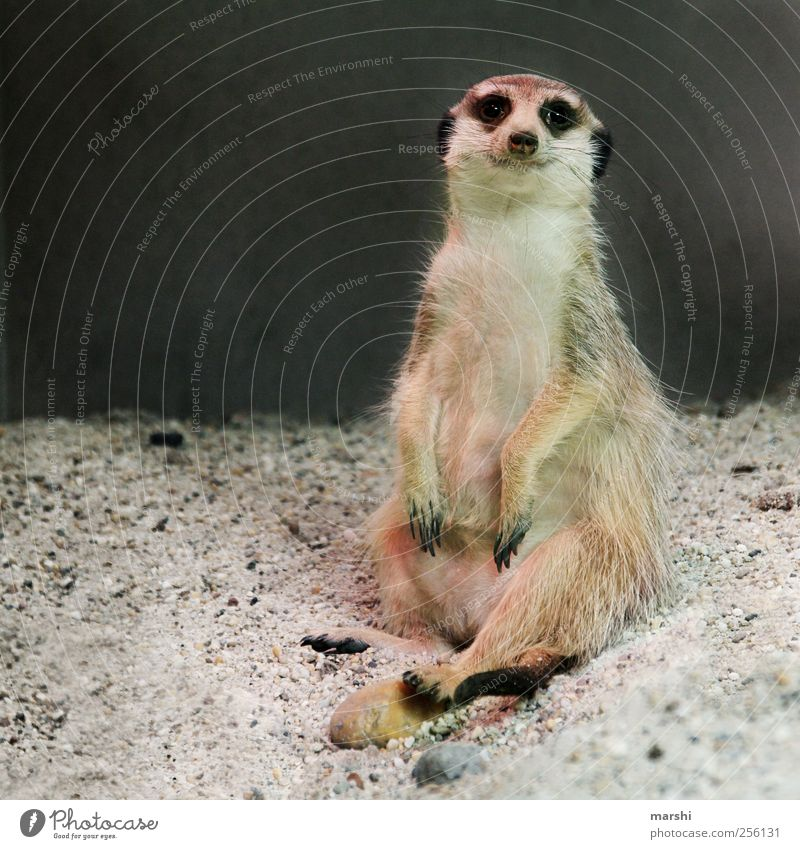 Beautiful Animal Sand Brown Sit Pelt Zoo Paw Claw Meerkat