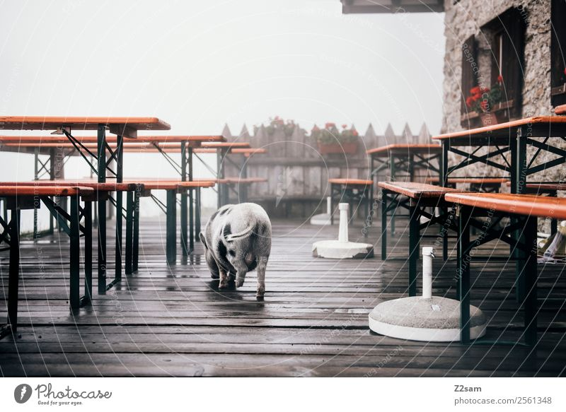 Mini pig in the beer garden Fog Alps Mountain Swine mini pig Pigs 1 Animal Going Small Natural Cute Calm Beer garden Colour photo Exterior shot Contrast Sunrise