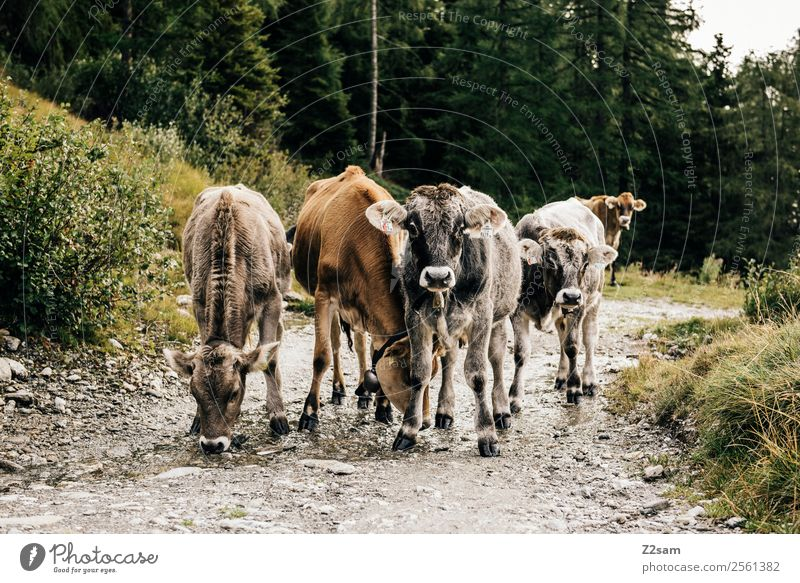 Pitztal young cattle Mountain Hiking Nature Landscape Autumn Bushes Forest Alps Farm animal Cow Group of animals Herd Observe Looking Stand Sustainability