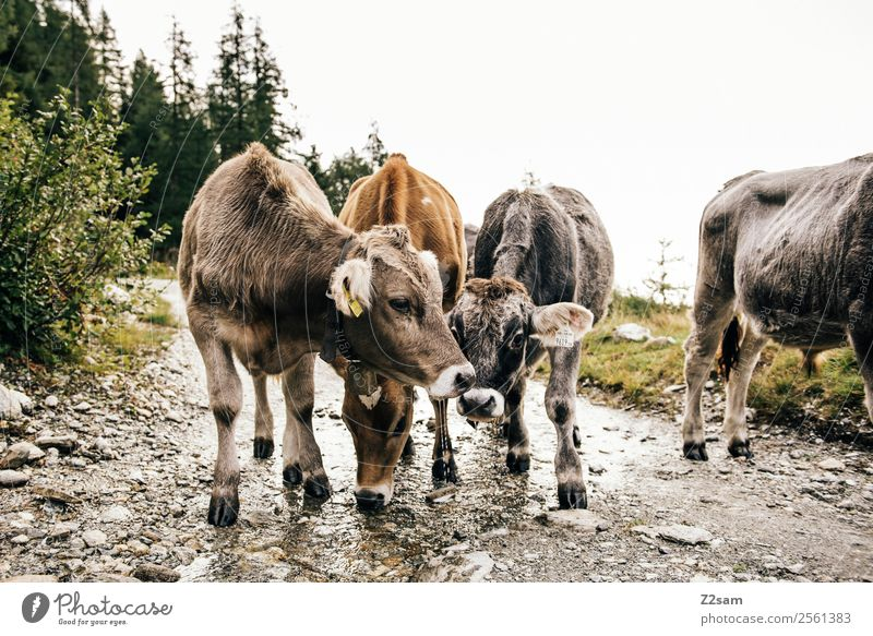 Pitztal calves Mountain Hiking Nature Landscape Alps Farm animal Cow 4 Animal Herd Love Playing Sustainability Friendship Together Calm Idyll Austria