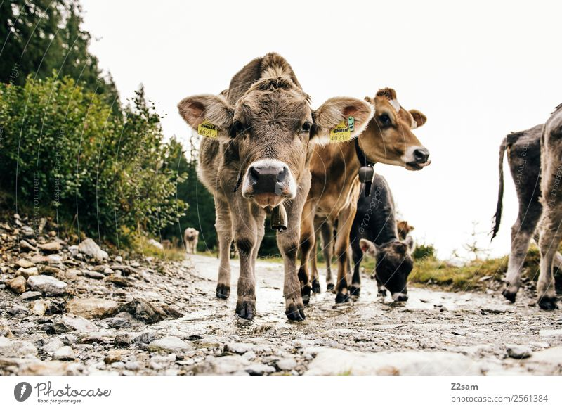 Pitztal young cattle Mountain Hiking Nature Landscape Autumn Bushes Alps Farm animal Cow 4 Animal Herd Observe Looking Stand Brash Together Curiosity Cute Calm