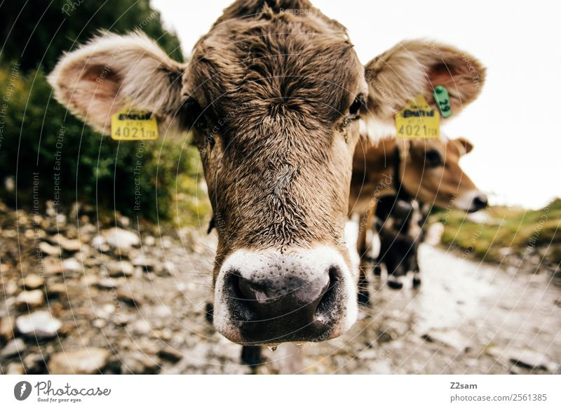 Pitztal young cattle Feasts & Celebrations Nature Landscape Autumn Alps Mountain Animal Farm animal Cow 1 Looking Stand Curiosity Cute Calm Idyll Sustainability