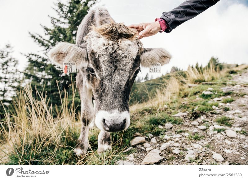 caress a cow Mountain Hiking Woman Adults Hand Nature Landscape Autumn Bushes Meadow Alps Farm animal Cow 1 Animal Painting (action, work) Friendliness