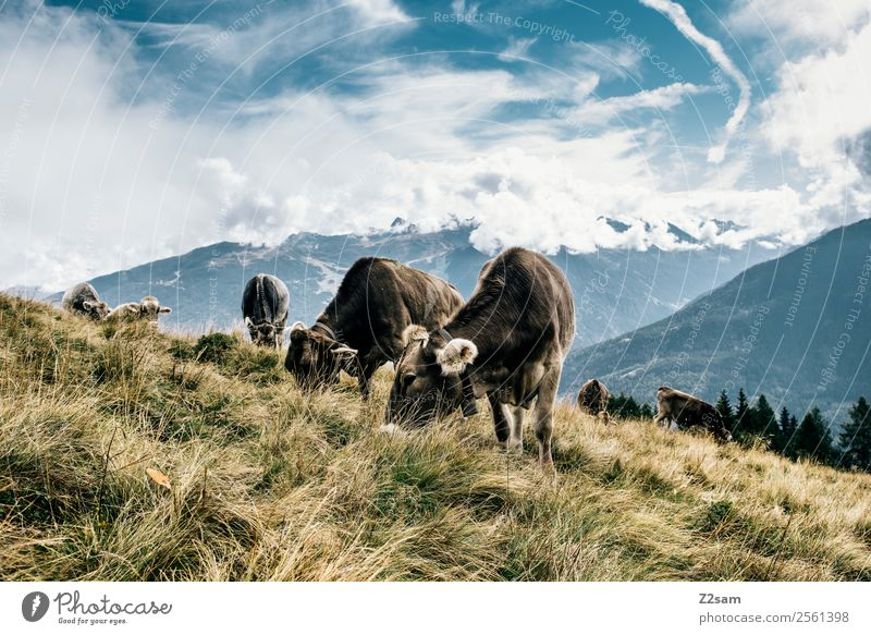 Pitztal cows Vacation & Travel Mountain Hiking Environment Nature Landscape Sky Clouds Summer Beautiful weather Meadow Alps Peak Farm animal Cow Herd Eating