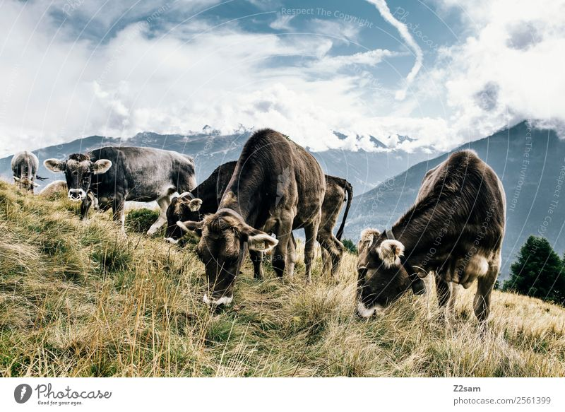 Pitztal cows Nature Landscape Sky Clouds Summer Beautiful weather Grass Alps Mountain Peak Farm animal Cow Herd Eating Stand Sustainability Natural Blue