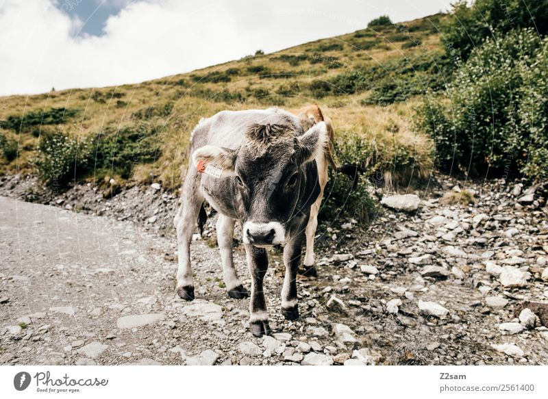 Pitztal cows Mountain Hiking Environment Nature Landscape Sky Clouds Summer Beautiful weather Alps Farm animal Cow 1 Animal Herd Looking Stand Natural Gray