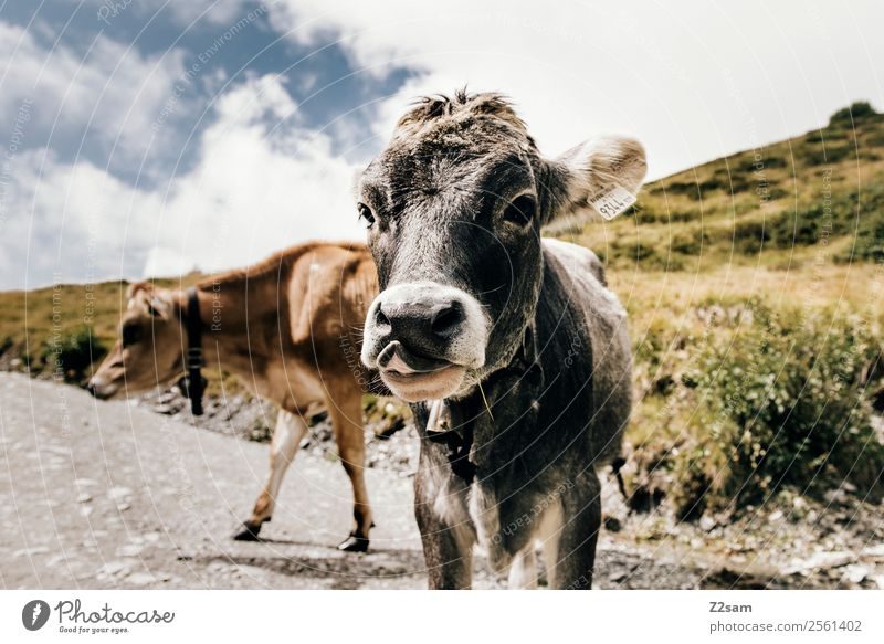Pitztal cows Vacation & Travel Summer vacation Mountain Hiking Feasts & Celebrations Nature Landscape Sky Clouds Beautiful weather Alps Cow Herd Looking Stand